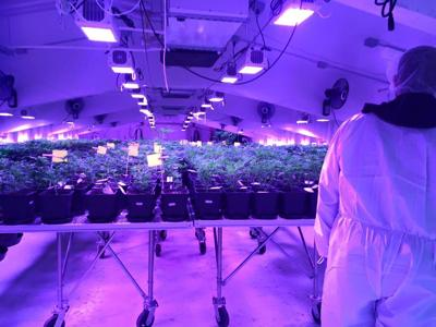Into the Weeds: exclusive first look inside a legal marijuana farm