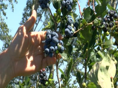 Photo: Blueberries