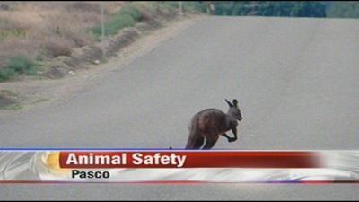 Loose kangaroo safety hazard