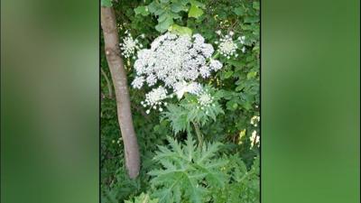 invasive hogweed