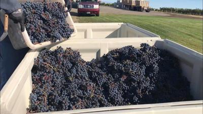Fall grape harvest