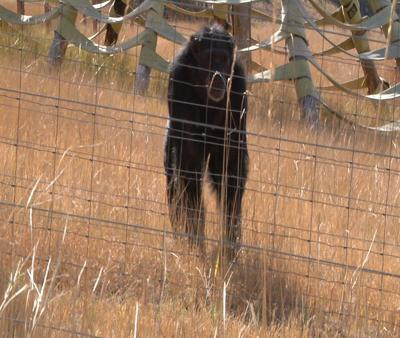 Chimpanzee Sanctuary Northwest is looking to expand its facilities