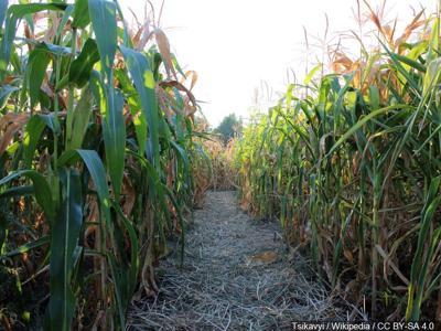 Stabbing last Friday at Union Gap Corn Maze