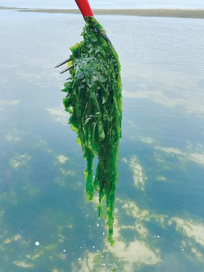 Seaweed02