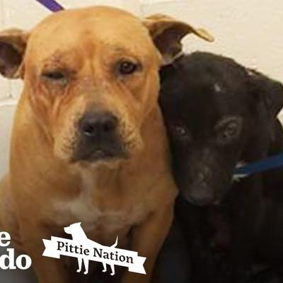 These Pitties Were Found Comforting Each Other In The Shelter   The Dodo Pittie Nation