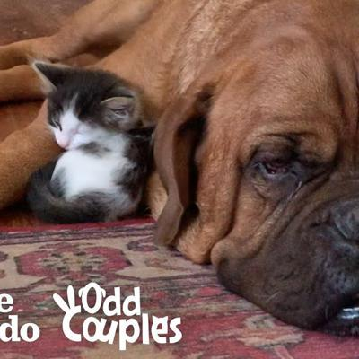 135-Pound Mastiff Becomes Obsessed With A Tiny Kitten  | The Dodo Odd Couples