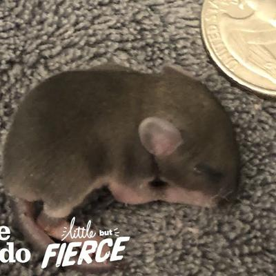 Baby Mouse The Size of a Quarter | The Dodo Little But Fierce