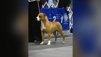 A show dog missing at the world's busiest airport has been found