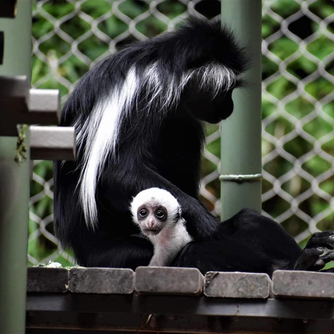 Angolan colobus monkey.jpg