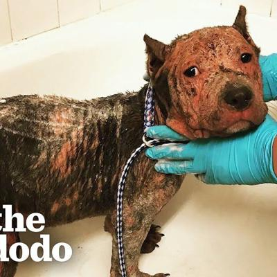 Abandoned, Hairless Puppy Could Barely Wag Her Tail Until... | The Dodo Pittie Nation