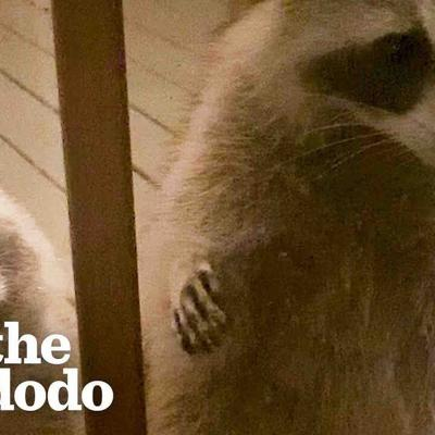 Wild Raccoon Introduces Woman To Her Daughter...And Granddaughter | The Dodo Faith = Restored
