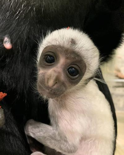 Angolan colobus monkey 2a.jpg