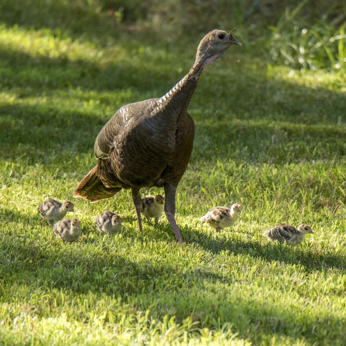 Wild turkey with chicks