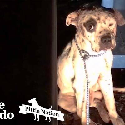 Pit Bull Rescued from Dogfighting Now Lives Like a King | The Dodo Pittie Nation