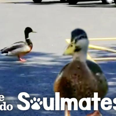 Watch This Wild Duck Bring His Girlfriend To Meet His Rescuer | The Dodo Soulmates