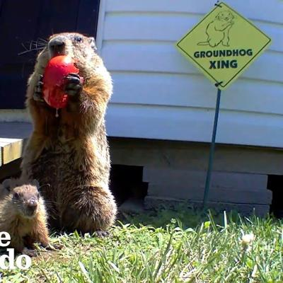 Guy Builds Veggie Garden For Family Of Groundhogs | The Dodo
