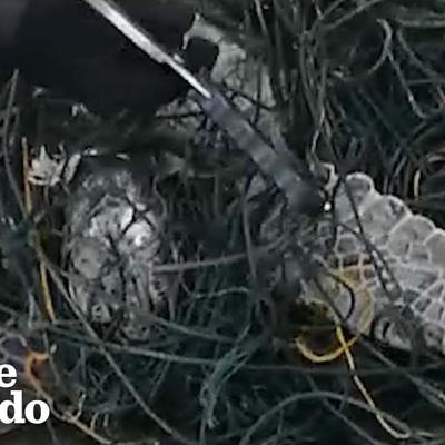 Heroes Cut Huge Sea Turtle Free From Fishing Lines | The Dodo