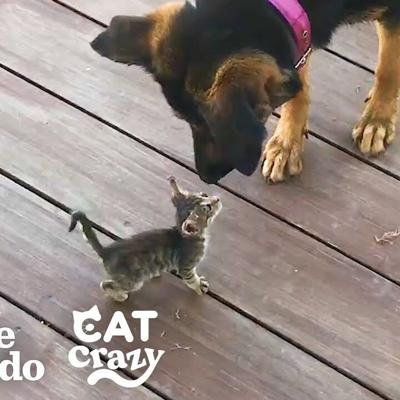 Stray Kitten Picks A Dog As Her Mom | The Dodo Cat Crazy