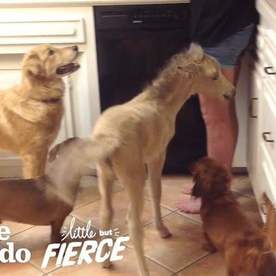 Tiniest Mini Horse Grows Up In A House Full Of Dogs | The Dodo Little But Fierce