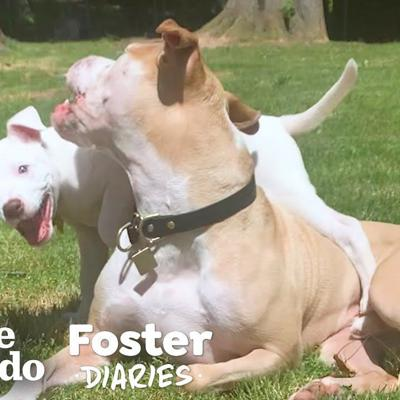 Pittie Teaches Foster Puppy How To Dog | The Dodo Foster Diaries