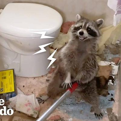 Mama Raccoon Crashes Through Bathroom Ceiling | The Dodo