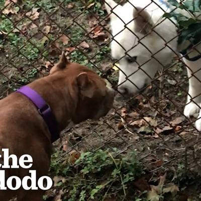 Pittie Is Best Friends With His Dog Neighbor | The Dodo Pittie Nation