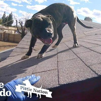 Pittie Found on Roof is So Happy to See Rescuers | The Dodo Pittie Nation