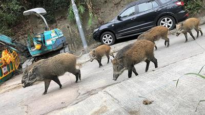 Why wild pigs are causing a stir in Hong Kong
