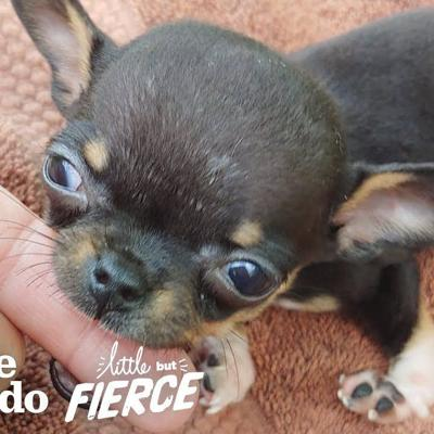 1-pound Chihuahua Rescue Puppy With Backwards Legs Does It ALL | The Dodo Little But Fierce