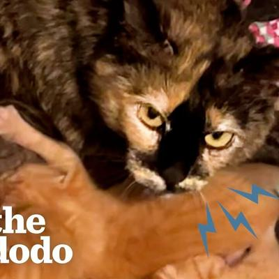 Protective Mama Cat Scared Of Humans Falls In Love With Her Foster Mom's Cat | The Dodo Cat Crazy