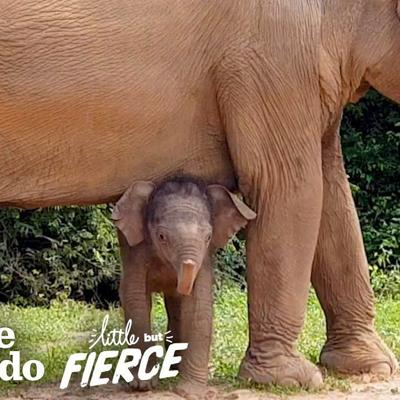 Tiniest Baby Elephant Copies Everything His Mom Does | The Dodo Little But Fierce