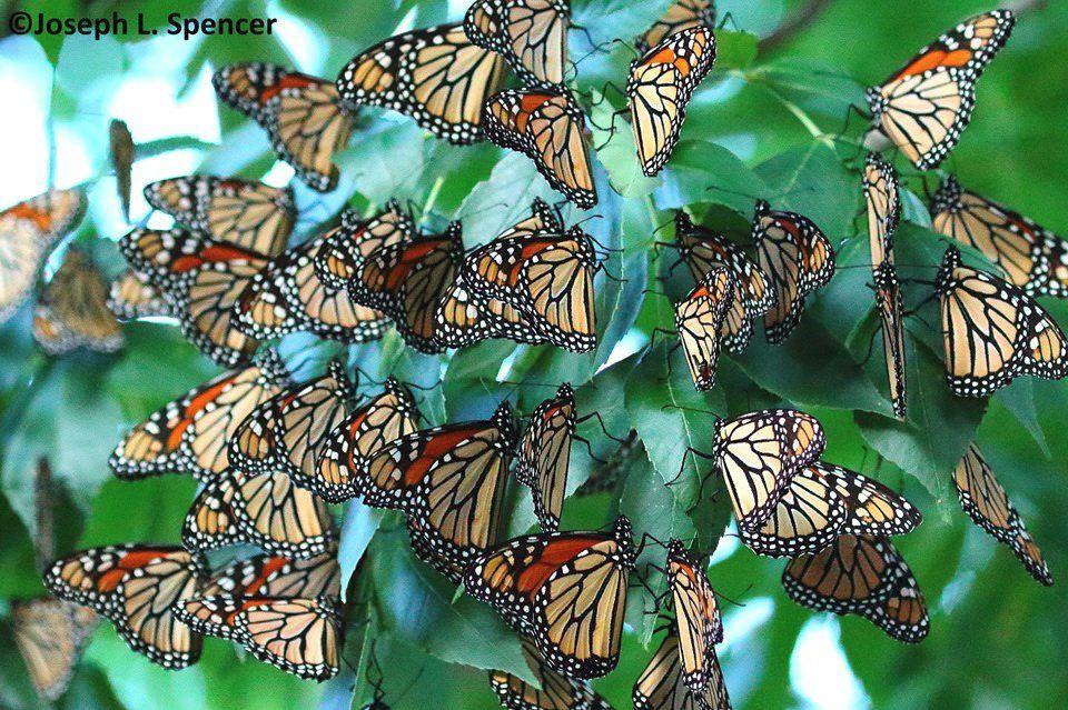 GO monarch flash mob