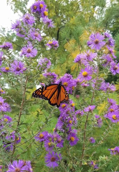ITG monarch on New England Aster