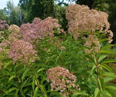ITG savannah plants Joe-pye weed