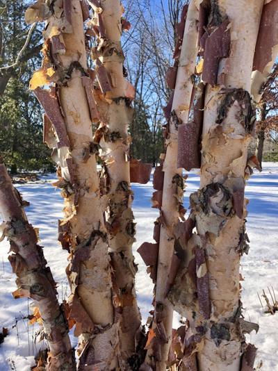 ITG river birch bark