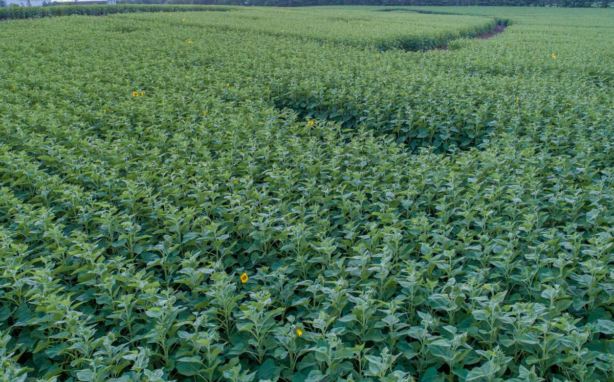 Clearview Farms Sunflowers low