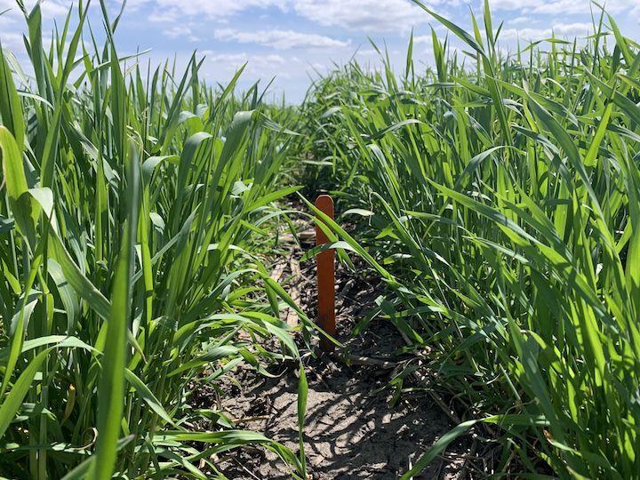 Corn Rye 1.JPG
