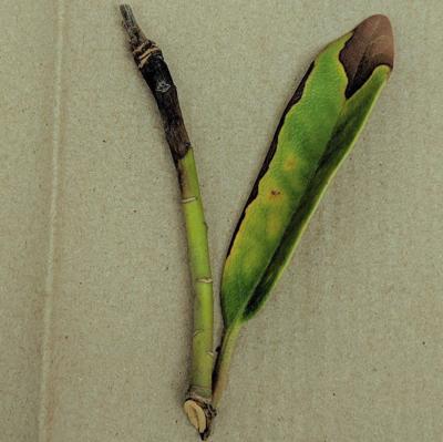 ITG native oak pathogen