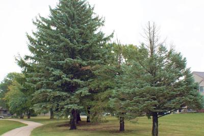 ITG non-native trees