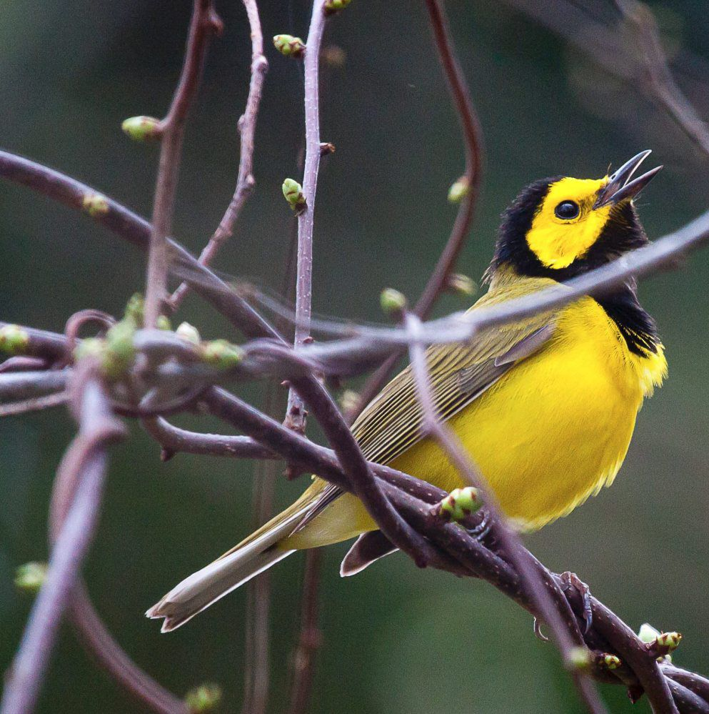 EA backyard creatures hooded warbler