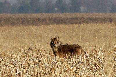 JA Savoy coyotes