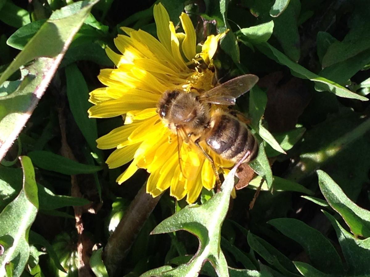 Honey bee on a dandelion