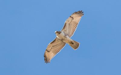 Environmental Almanac Red Tailed Hawks Soaring Over Illinois Living News Gazette Com