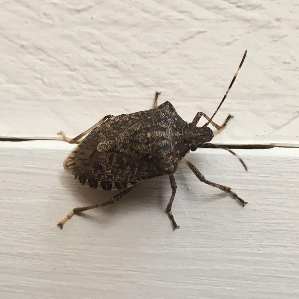 ITG brown marmorated stink bug