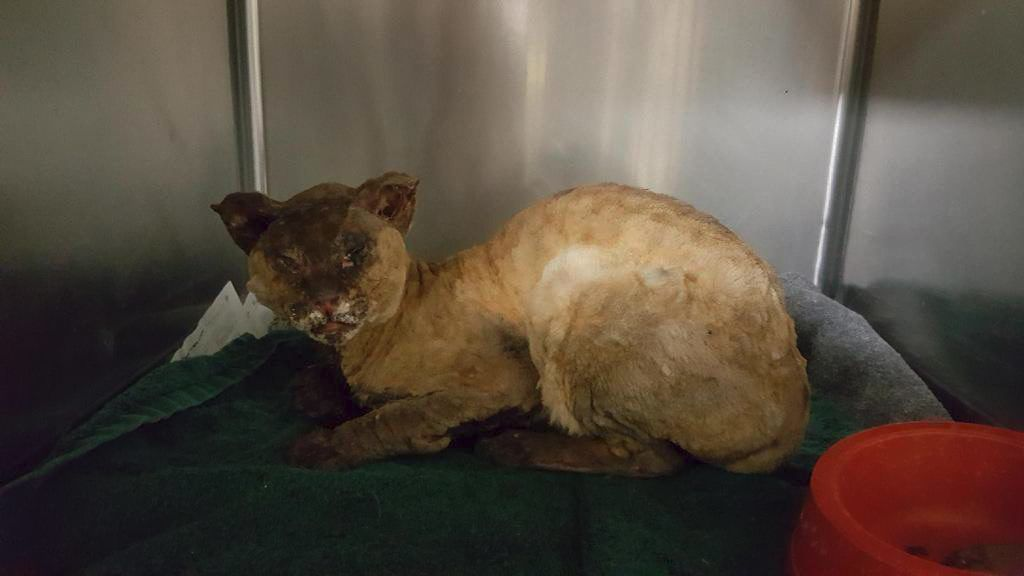 Cat showing signs of 'horrible' abuse dropped off at Paxton clinic
