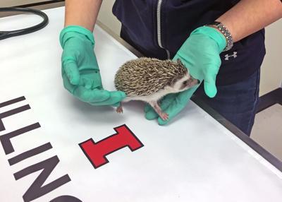 Pet Talk hedgehog