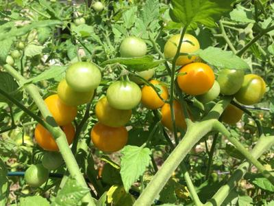 ITG seeds sungold tomato