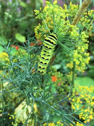 ITG herbs Eastern black swallowtail caterpillar