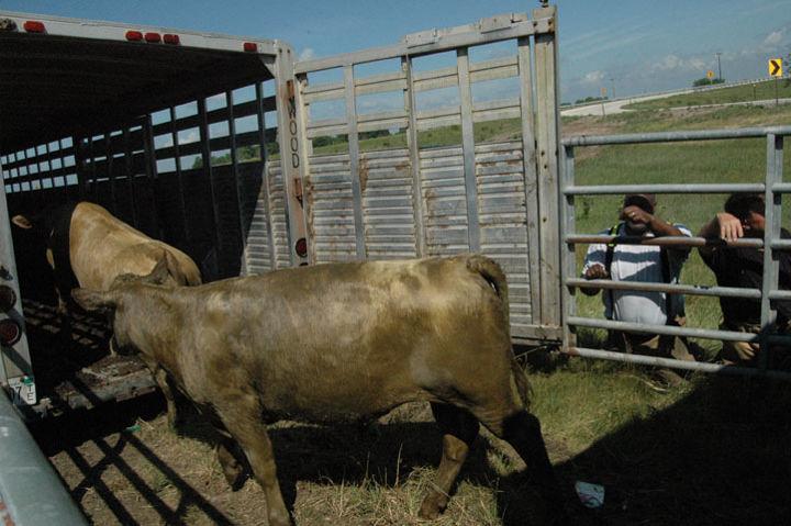 Feeder cattle.JPG