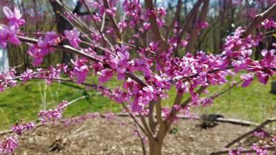 ITG spring blooms redbud